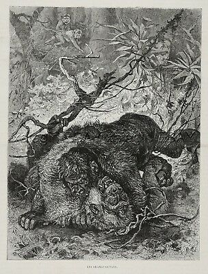 Orangutan Orang-utan Males Fighting in Jungle, Large 1880s Antique Print