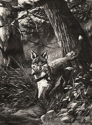 Red Fox Carrying Woodcock Through Forest, Large 1890s Antique Print & Article