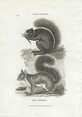 Squirrel Gray or Grey, Rare Antique Engraving Print from 1803 (200+ Years Old)