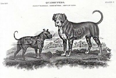 DOG Bulldog & Mastiff As Breed Looked 200 Years Ago, 1820 Engraving Print