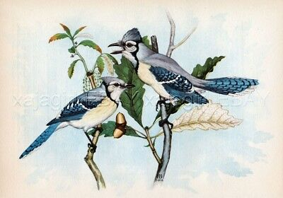 Bird Blue Jay Pair, Male & Female 1913 Quality Color Print & Text