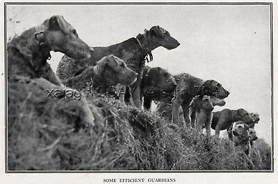 DOG Airedale Terrier Messenger War Dogs in Trenches, Rare Antique Print