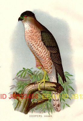 BIRD Coopers Hawk, Beautiful 1897 Antique Color Print