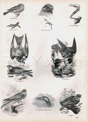 BIRD Nighthawk & Nightjar, Lovely Antique 1840s Print