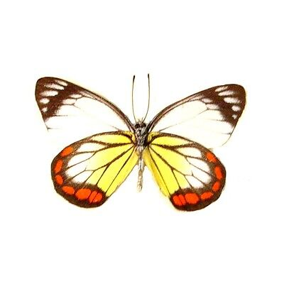 Real Framed Delias Hyparete Verso Painted Jezebel Butterfly 2553