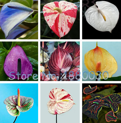 100 SEED Japanese garden seeds of new varieties of Anthurium seed MIX ANTHURIUM