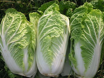 Chinese Cabbage Seeds (Approx 100 Seeds)