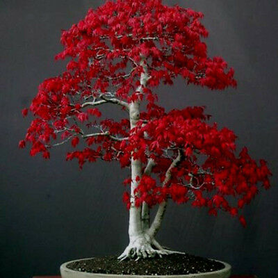 50pcs Red Maple Bonsai Seeds Plant Tree Flower Home Garden decor Japanese