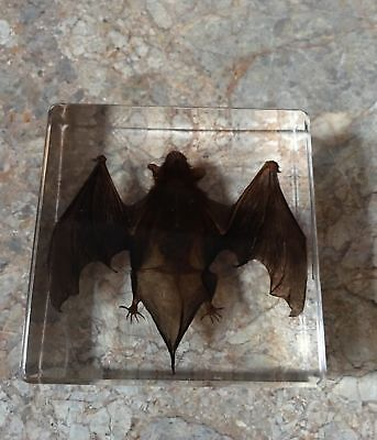 Bat Paperweight Medium Gift Box, Resin Encased, Taxidermy, Gift Idea #Halloween