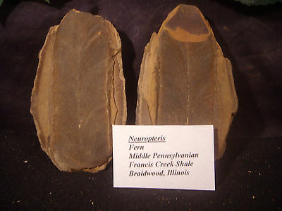 Mazon Creek Fossils Neuropteris Fern Collected from the Mazon Creek