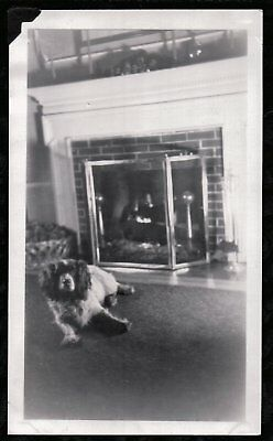 Vintage Photograph 1930's-40's English Springer Spaniel Dog Puppy Pup Old Photo