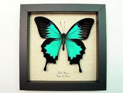 Real Framed Papilio Ulysses Blue Mountain Swallowtail Butterfly 204s