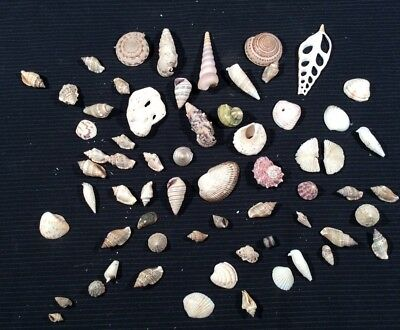 Assorted Sea Hermit Crab (and More) Shells For Crafts Lot