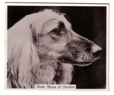 DOG AFGAN Hound (Named), Large Photo Trading Card, 1938