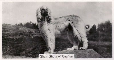 DOG Afghan Hound (Named), Small Photo Trading Card 1938