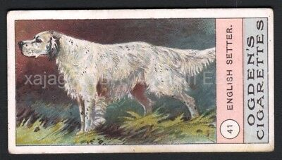 DOG English Setter, Very Rare Trading Card, 1908