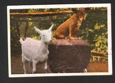 Goat Landace & Dog, Antique Danish 1930 Trading Card