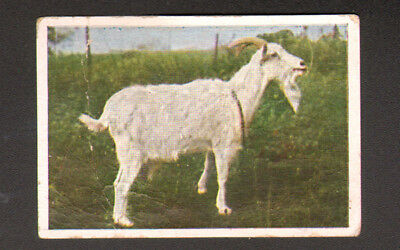 Goat Landace White, Antique Danish 1930 Trading Card