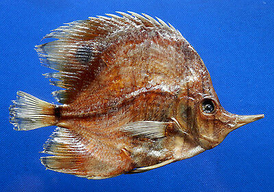 04923 Copperband butterflyfish- Chelmon rostratus, 135 mm Freeze Dried