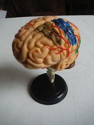 Brain Learning Model Human New Anatomical Model Brain Anatomy Medical resources