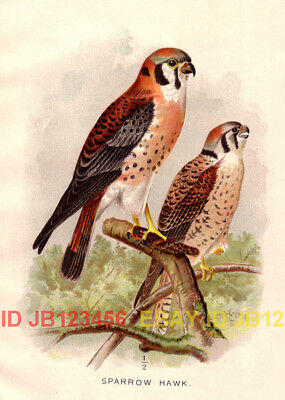 BIRD American Kestrel Sparrow Hawk, 1897 Antique Print
