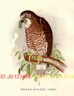 BIRD Broad Winged Hawk, Beautiful 1897 Antique Print