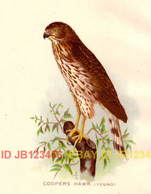 BIRD Coopers Hawk (Immature), 1897 Antique Color Print