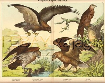 BIRD Eagles, Golden, Kite, Bald, GIGANTIC 1880s Print