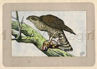 BIRD Eurasian Sparrowhawk, Rare Antique 100-Year-Old French Bird Print-- Nice