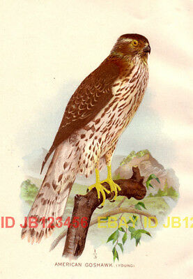 BIRD Goshawk American (Immature), 1897 Antique Print