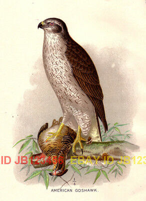 BIRD Goshawk American, Beautiful 1897 Antique Print