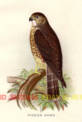 BIRD Merlin Pigeon Hawk, Beautiful 1897 Antique Print