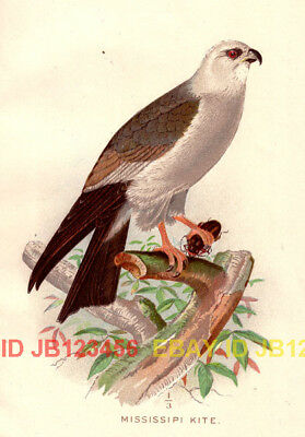 BIRD Mississippi Kite, Beautiful 1897 Antique Print