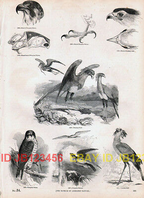 BIRD Peregrine Falcon, Secretary Bird, Old 1840s Print
