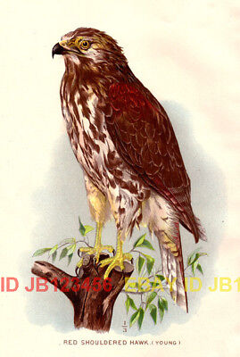 BIRD Red Shouldered Hawk (Young), 1897 Antique Print