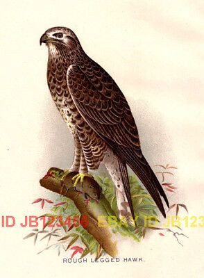 BIRD Rough Legged Hawk, Beautiful 1897 Antique Print