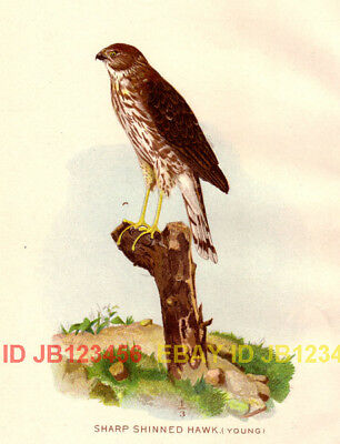 BIRD Sharpie, Young Sharp Shinned Hawk, 1897 Print