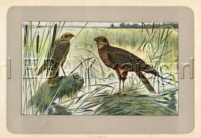 BIRD Western Marsh Harrier, Rare Antique 100-Year-Old French Bird Print-- Nice