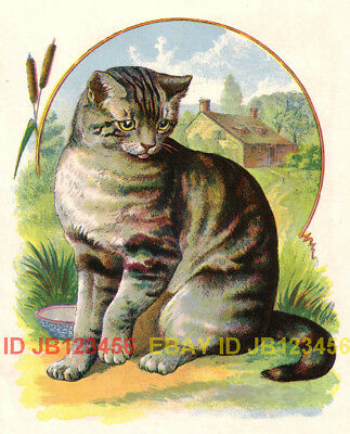 CAT Gray Farm Tabby, Antique 100+ Yr Old Color Print