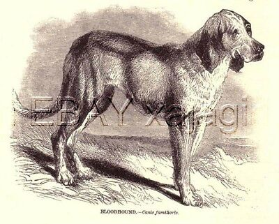 DOG BLOODHOUND Antique Woodcut Print from 1890s
