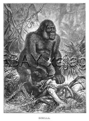 GORILLA, Primate Beautiful Large Antique 1890s Print