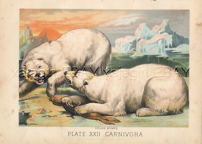 POLAR BEAR Fighting Over Seal 1880s Antique Color Print