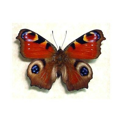 Real Framed Inachus io European Peacock Butterfly 687