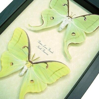 Real Framed North American Male & Female Luna Moth Pair 1124P