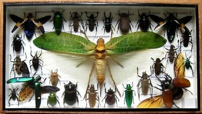 26 Real Insect Display Taxidermy Entomology Beetle Big Set in Box Collectible