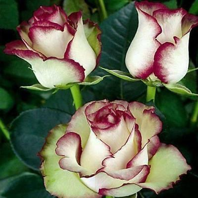 Flower Seeds Fragrant Blooms Rare Rose Seeds Bush Perennial Shrub Garden Home Y
