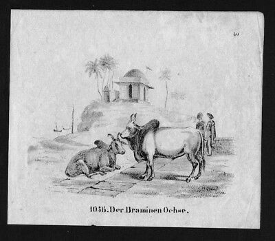 1830 - India Indien Ochse Kuh Auerochse Lithographie Lithograph