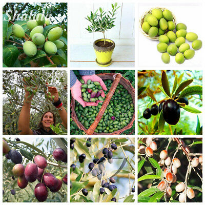 New Olive Seed Tropical Ornaments Plants Can Edible Perennial bonsai tree 10 Pcs