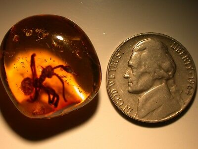 HUGE Oxidized Ant with Thorn on Thorax in Authentic Dominican Amber Gemstone