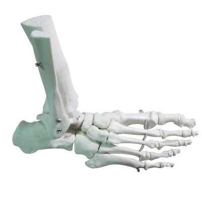 1:1 Human Skeleton Ligament Foot Ankle Joint Anatomical Anatomy Medical Model